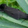 Juodoji meškutė - Phragmatobia luctifera | Fotografijos autorius : Romas Ferenca | © Macrogamta.lt | Šis tinklapis priklauso bendruomenei kuri domisi makro fotografija ir fotografuoja gyvąjį makro pasaulį.