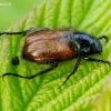 Grikinukas - Phyllopertha horticola | Fotografijos autorius : Romas Ferenca | © Macrogamta.lt | Šis tinklapis priklauso bendruomenei kuri domisi makro fotografija ir fotografuoja gyvąjį makro pasaulį.