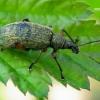 Phyllobius glaucus - Lapinukas | Fotografijos autorius : Romas Ferenca | © Macrogamta.lt | Šis tinklapis priklauso bendruomenei kuri domisi makro fotografija ir fotografuoja gyvąjį makro pasaulį.