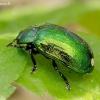 Žaliasis girinukas - Plagiosterna aenea | Fotografijos autorius : Romas Ferenca | © Macrogamta.lt | Šis tinklapis priklauso bendruomenei kuri domisi makro fotografija ir fotografuoja gyvąjį makro pasaulį.