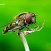 Platycheirus peltatus - Žiedmusė | Fotografijos autorius : Romas Ferenca | © Macrogamta.lt | Šis tinklapis priklauso bendruomenei kuri domisi makro fotografija ir fotografuoja gyvąjį makro pasaulį.