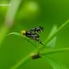 Platyparea discoidea - Margasparnė | Fotografijos autorius : Romas Ferenca | © Macrogamta.lt | Šis tinklapis priklauso bendruomenei kuri domisi makro fotografija ir fotografuoja gyvąjį makro pasaulį.