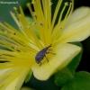 Jonažolinis apionas - Pseudoperapion brevirostre | Fotografijos autorius : Romas Ferenca | © Macrogamta.lt | Šis tinklapis priklauso bendruomenei kuri domisi makro fotografija ir fotografuoja gyvąjį makro pasaulį.