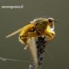 Scathophaga stercoraria – Geltonoji mėšlamusė | Fotografijos autorius : Romas Ferenca | © Macrogamta.lt | Šis tinklapis priklauso bendruomenei kuri domisi makro fotografija ir fotografuoja gyvąjį makro pasaulį.