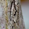 Semioscopis avellanella - Pilkasis semioskopis | Fotografijos autorius : Romas Ferenca | © Macrogamta.lt | Šis tinklapis priklauso bendruomenei kuri domisi makro fotografija ir fotografuoja gyvąjį makro pasaulį.