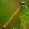Biston betularia - Beržinis šeriasprinidis, vikšras | Fotografijos autorius : Romas Ferenca | © Macrogamta.lt | Šis tinklapis priklauso bendruomenei kuri domisi makro fotografija ir fotografuoja gyvąjį makro pasaulį.