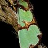 Staurophora celsia - Smaragdinis smiltinukas | Fotografijos autorius : Romas Ferenca | © Macrogamta.lt | Šis tinklapis priklauso bendruomenei kuri domisi makro fotografija ir fotografuoja gyvąjį makro pasaulį.