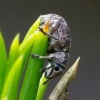 Strophosoma capitatum - Šeriuotasis straubliukas | Fotografijos autorius : Romas Ferenca | © Macrogamta.lt | Šis tinklapis priklauso bendruomenei kuri domisi makro fotografija ir fotografuoja gyvąjį makro pasaulį.