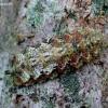 Žiedmusė - Meligramma triangulifera, lerva  | Fotografijos autorius : Romas Ferenca | © Macrogamta.lt | Šis tinklapis priklauso bendruomenei kuri domisi makro fotografija ir fotografuoja gyvąjį makro pasaulį.