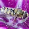 Žiedmusė - Eupeodes corollae | Fotografijos autorius : Romas Ferenca | © Macrogamta.lt | Šis tinklapis priklauso bendruomenei kuri domisi makro fotografija ir fotografuoja gyvąjį makro pasaulį.
