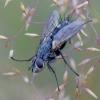 Dygliamusė - Eriothrix rufomaculata | Fotografijos autorius : Romas Ferenca | © Macrogamta.lt | Šis tinklapis priklauso bendruomenei kuri domisi makro fotografija ir fotografuoja gyvąjį makro pasaulį.