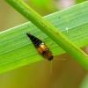 Trumpasparnis -Tachyporus chrysomelinus | Fotografijos autorius : Romas Ferenca | © Macrogamta.lt | Šis tinklapis priklauso bendruomenei kuri domisi makro fotografija ir fotografuoja gyvąjį makro pasaulį.