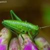 Tettigoniidae - Žiogas | Fotografijos autorius : Romas Ferenca | © Macrogamta.lt | Šis tinklapis priklauso bendruomenei kuri domisi makro fotografija ir fotografuoja gyvąjį makro pasaulį.