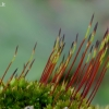 Smailioji minkštūnė - Tortula subulata | Fotografijos autorius : Romas Ferenca | © Macrogamta.lt | Šis tinklapis priklauso bendruomenei kuri domisi makro fotografija ir fotografuoja gyvąjį makro pasaulį.