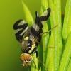 Urophora cardui - Daginė margasparnė | Fotografijos autorius : Romas Ferenca | © Macrogamta.lt | Šis tinklapis priklauso bendruomenei kuri domisi makro fotografija ir fotografuoja gyvąjį makro pasaulį.