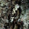 Raštuotoji šydinė kandis - Ypsolopha sequella | Fotografijos autorius : Romas Ferenca | © Macrogamta.lt | Šis tinklapis priklauso bendruomenei kuri domisi makro fotografija ir fotografuoja gyvąjį makro pasaulį.