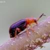 Šiurkščiakaktis gūbrinukas - Zeugophora scutellaris | Fotografijos autorius : Romas Ferenca | © Macrogamta.lt | Šis tinklapis priklauso bendruomenei kuri domisi makro fotografija ir fotografuoja gyvąjį makro pasaulį.