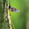 Lašalas sp. | Fotografijos autorius : Deividas Makavičius | © Macrogamta.lt | Šis tinklapis priklauso bendruomenei kuri domisi makro fotografija ir fotografuoja gyvąjį makro pasaulį.