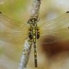Mažoji skėtė - Leucorrhinia dubia, patelė | Fotografijos autorius : Deividas Makavičius | © Macrogamta.lt | Šis tinklapis priklauso bendruomenei kuri domisi makro fotografija ir fotografuoja gyvąjį makro pasaulį.