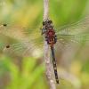 Mažoji skėtė - Leucorrhinia dubia, patinas | Fotografijos autorius : Deividas Makavičius | © Macrogamta.lt | Šis tinklapis priklauso bendruomenei kuri domisi makro fotografija ir fotografuoja gyvąjį makro pasaulį.