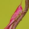 Neporinis skėriukas - Chrysochraon dispar, patelė (rausvos spalvos variatetas) | Fotografijos autorius : Deividas Makavičius | © Macrogamta.lt | Šis tinklapis priklauso bendruomenei kuri domisi makro fotografija ir fotografuoja gyvąjį makro pasaulį.