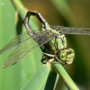 Ophiogomphus cecilia - Pleištinis laumžirgis | Fotografijos autorius : Deividas Makavičius | © Macrogamta.lt | Šis tinklapis priklauso bendruomenei kuri domisi makro fotografija ir fotografuoja gyvąjį makro pasaulį.