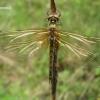 Somatochlora flavomaculata - Geltondėmė skėtė | Fotografijos autorius : Nomeda Vėlavičienė | © Macrogamta.lt | Šis tinklapis priklauso bendruomenei kuri domisi makro fotografija ir fotografuoja gyvąjį makro pasaulį.
