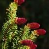 Paprastoji eglė - Picea abies | Fotografijos autorius : Nomeda Vėlavičienė | © Macrogamta.lt | Šis tinklapis priklauso bendruomenei kuri domisi makro fotografija ir fotografuoja gyvąjį makro pasaulį.