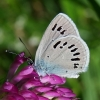Cyaniris [=Polyommatus] semiargus - Pilkasis melsvys | Fotografijos autorius : Nomeda Vėlavičienė | © Macrogamta.lt | Šis tinklapis priklauso bendruomenei kuri domisi makro fotografija ir fotografuoja gyvąjį makro pasaulį.