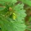 Micrommata virescens - Paprastasis žaliavoris | Fotografijos autorius : Nomeda Vėlavičienė | © Macrogamta.lt | Šis tinklapis priklauso bendruomenei kuri domisi makro fotografija ir fotografuoja gyvąjį makro pasaulį.