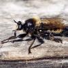 Laphria flava - Kamaniškoji plėšriamusė | Fotografijos autorius : Valdimantas Grigonis | © Macrogamta.lt | Šis tinklapis priklauso bendruomenei kuri domisi makro fotografija ir fotografuoja gyvąjį makro pasaulį.