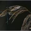 Cordulia aenea - Bronzinė skėtė | Fotografijos autorius : Valdimantas Grigonis | © Macrogamta.lt | Šis tinklapis priklauso bendruomenei kuri domisi makro fotografija ir fotografuoja gyvąjį makro pasaulį.