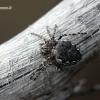 Nuctenea silvicultrix - Pilkšvapilvis landuolis | Fotografijos autorius : Valdimantas Grigonis | © Macrogamta.lt | Šis tinklapis priklauso bendruomenei kuri domisi makro fotografija ir fotografuoja gyvąjį makro pasaulį.