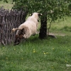 Net skraidančių avių radom ...  | Fotografijos autorius : Valdimantas Grigonis | © Macrogamta.lt | Šis tinklapis priklauso bendruomenei kuri domisi makro fotografija ir fotografuoja gyvąjį makro pasaulį.