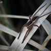 Juostuotasis plūdvoris - Dolomedes fimbriatus | Fotografijos autorius : Vilius Grigaliūnas | © Macrogamta.lt | Šis tinklapis priklauso bendruomenei kuri domisi makro fotografija ir fotografuoja gyvąjį makro pasaulį.