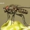 Anthomyiidae - Žiedenė | Fotografijos autorius : Vilius Grigaliūnas | © Macrogamta.lt | Šis tinklapis priklauso bendruomenei kuri domisi makro fotografija ir fotografuoja gyvąjį makro pasaulį.