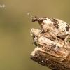 Bothynoderes affinis - Skersadryžis runkelinis straubliukas | Fotografijos autorius : Vilius Grigaliūnas | © Macrogamta.lt | Šis tinklapis priklauso bendruomenei kuri domisi makro fotografija ir fotografuoja gyvąjį makro pasaulį.