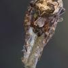 Larinioides cornutus - Nendrinis žnypliavoris | Fotografijos autorius : Vilius Grigaliūnas | © Macrogamta.lt | Šis tinklapis priklauso bendruomenei kuri domisi makro fotografija ir fotografuoja gyvąjį makro pasaulį.