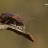 Jalla dumosa - Raudondėmė skydblakė | Fotografijos autorius : Vilius Grigaliūnas | © Macrogamta.lt | Šis tinklapis priklauso bendruomenei kuri domisi makro fotografija ir fotografuoja gyvąjį makro pasaulį.