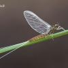 Ephemeroptera – Lašalas | Fotografijos autorius : Vilius Grigaliūnas | © Macrogamta.lt | Šis tinklapis priklauso bendruomenei kuri domisi makro fotografija ir fotografuoja gyvąjį makro pasaulį.