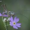 Paprastasis spragtukas - Metrioptera roeselii  | Fotografijos autorius : Vilius Grigaliūnas | © Macrogamta.lt | Šis tinklapis priklauso bendruomenei kuri domisi makro fotografija ir fotografuoja gyvąjį makro pasaulį.