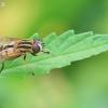 Helophilus hybridus - Žiedmusė | Fotografijos autorius : Gediminas Gražulevičius | © Macrogamta.lt | Šis tinklapis priklauso bendruomenei kuri domisi makro fotografija ir fotografuoja gyvąjį makro pasaulį.