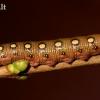 Lipikinis sfinksas - Hyles galii, vikšras | Fotografijos autorius : Gediminas Gražulevičius | © Macrogamta.lt | Šis tinklapis priklauso bendruomenei kuri domisi makro fotografija ir fotografuoja gyvąjį makro pasaulį.