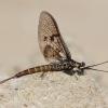Lašalas - Ephemeroptera sp. | Fotografijos autorius : Gediminas Gražulevičius | © Macrogamta.lt | Šis tinklapis priklauso bendruomenei kuri domisi makro fotografija ir fotografuoja gyvąjį makro pasaulį.