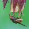 Rhingia campestris - Žiedmusė | Fotografijos autorius : Gediminas Gražulevičius | © Macrogamta.lt | Šis tinklapis priklauso bendruomenei kuri domisi makro fotografija ir fotografuoja gyvąjį makro pasaulį.