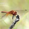 Sympetrum flaveolum - Geltosparnė skėtė | Fotografijos autorius : Gediminas Gražulevičius | © Macrogamta.lt | Šis tinklapis priklauso bendruomenei kuri domisi makro fotografija ir fotografuoja gyvąjį makro pasaulį.