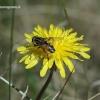 Helophilus hybridus - Žiedmusė   Fotografijos autorius : Rasa Gražulevičiūtė   © Macrogamta.lt   Šis tinklapis priklauso bendruomenei kuri domisi makro fotografija ir fotografuoja gyvąjį makro pasaulį.