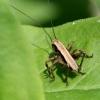 Pholidoptera griseoaptera - Keršasis žiogas | Fotografijos autorius : Rasa Gražulevičiūtė | © Macrogamta.lt | Šis tinklapis priklauso bendruomenei kuri domisi makro fotografija ir fotografuoja gyvąjį makro pasaulį.