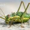 Ephippiger sp. - Apvaliagalvis žiogas | Fotografijos autorius : Gediminas Gražulevičius | © Macrogamta.lt | Šis tinklapis priklauso bendruomenei kuri domisi makro fotografija ir fotografuoja gyvąjį makro pasaulį.