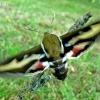 Hyles galii - Lipikinis sfinkas | Fotografijos autorius : Linas Mockus | © Macrogamta.lt | Šis tinklapis priklauso bendruomenei kuri domisi makro fotografija ir fotografuoja gyvąjį makro pasaulį.